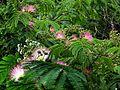 자귀나무.jpg
