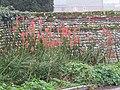-2020-12-09 Red hot poker flower (Kniphofia), Saint Nicholas, Salthouse.JPG