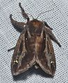 - 4700 – Acharia stimulea – Saddleback Caterpillar Moth (19866363376).jpg