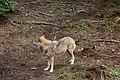 00 2638 Nationalpark Bayerischer Wald - Wolf-Freigelände.jpg