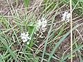 101 8762 Гіацинтик блідий - рідкісна рослина Київщини.jpg