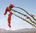 10y - OCOTILLO (Fouquieria splendens) (4-22-15) property near pat lake st pk, sc co, az (4 (17236870161).jpg