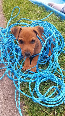 14 week old Patterdale pup called Fudge 2014-07-13 16-06.jpg