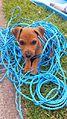 14 week old Patterdale pup called Fudge 2014-07-13 16-06.jpg