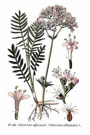 Valerian (herb) - Image: 156 Valeriana officinalis L