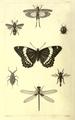 1862 InsectsInjurious byTWHarris illus bySonrel.png