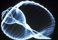 2-Dolium geant.jpg