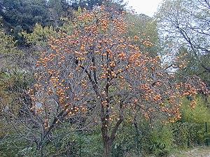 Ebenholzgewachse Wikipedia