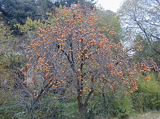 Ebenaceae - Diospyros kaki