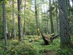 Eurasian woodcock - Habitat: Białowieski Park Narodowy, Poland