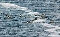 2007 Snow-Hill-Island Luyten-De-Hauwere-Emperor-Penguin-50.jpg