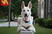 2008-06-26 White German Shepherd Dog Posing 2.jpg