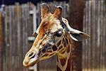 2012-06-09 Oakland Zoo 049 (7439950196).jpg