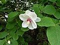 20120522 CamelliaPath OyamaMagnolia Cutler P1240017 (7312701108).jpg