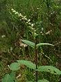 20120624Teucrium scorodonia1.jpg