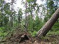 20130622Sturmschaden Schwetzinger Hardt19.jpg