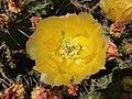 2014-06-15 16 05 28 Prickly Pear Cactus blossum in Elko, Nevada.JPG
