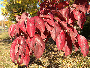 Cornus florida - Foliage during autumn