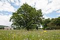 20140531 Stieleiche Breitenfurt 7451.jpg