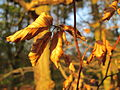20141101Carpinus betulus2.jpg