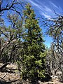 2015-04-28 11 45 46 An older White Fir on the south wall of Maverick Canyon, Nevada.jpg