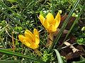 20150225Crocus chrysanthus3.jpg