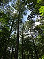 2016-07-20 14 35 05 View up towards the top of several Bald Cypress trees from the trail at the Battle Creek Cypress Swamp in Calvert County, Maryland.jpg