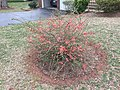2017-02-28 14 55 03 Flowering Quince blooming along Allness Lane in the Chantilly Highlands section of Oak Hill, Fairfax County, Virginia.jpg