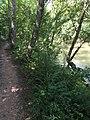 2017-08-19 11 28 55 Eastern Hemlock sapling between Bull Run and the Bull Run-Occoquan Trail between the Yellow Trail and the Red Trail within Hemlock Overlook Regional Park, in southwestern Fairfax County, Virginia.jpg