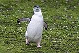 2019-03-03 Chinstrap penguin on Barrientos Island, Antarctica.jpg