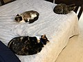 2019-11-03 19 26 08 Three cats lying on a bed in the Franklin Farm section of Oak Hill, Fairfax County, Virginia.jpg