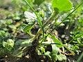 20190228Veronica hederifolia2.jpg