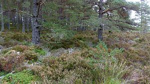 Abernethy Forest - regeneration in the northern forest