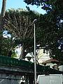 27 Gibraltar-zmajevo drevo.JPG