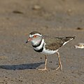 3-banded plover last weekend at Mkhombo Dam (36902155813).jpg