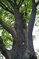 """300 letni dąb szypułkowy """"Rosochaty"""" w parku przypałacowym w Wykrotach 02.jpg"""