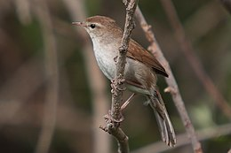 37-090505-cettis-warbler-at-Kalloni-east-river.jpg