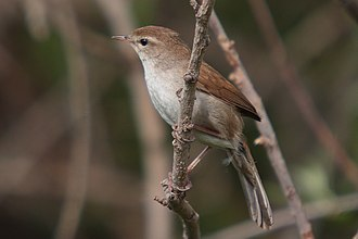Cetti's warbler - by the Kalloni east river, Lesvos, Greece.