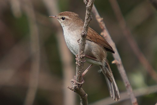 37-090505-cettis-warbler-at-Kalloni-east-river