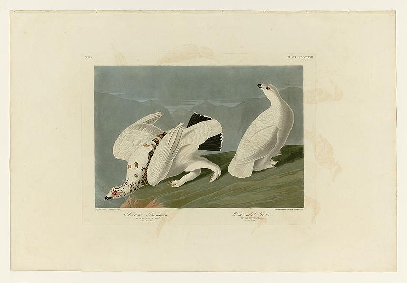 File:418 I. American Ptarmigan - 2. White-tailed Grous.jpg