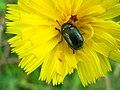 4892 - Mürren-Gimmelwald - Coleoptera on Sonchus.JPG