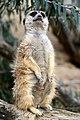 50 Jahre Knie's Kinderzoo - Suricata suricatta (Erdmännchen) 2012-10-03 16-23-52.JPG