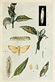 62-Indian-Insect-Life - Harold Maxwell-Lefroy - Antigastra-catalaunalis.jpg