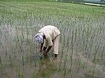 AIP-Rice farmer using leaf color chart-based nitrogen application in rice paddy in Punjab (15638478584).jpg