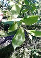 AZ0116. Ulmus x hollandica (curled Leaves). Royal Circus Gardens, Edinburgh. (03).jpg