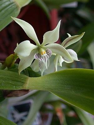 Charles Wesley Powell - Epidendrum fragrans