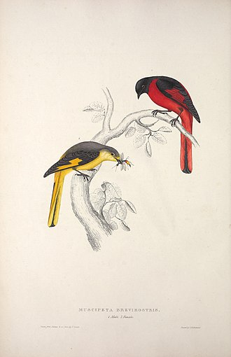 Elizabeth Gould (illustrator) - An example of the sole attribution to Elizabeth seen at the bottom left