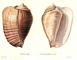 A colored drawing of a shell of Strombus galeatus from Kiener, 1843.jpg