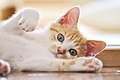 A doing aisatsu kitten (Flickr).jpg
