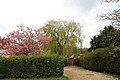 A flowering tree and weeping willow at Matching Tye, Essex, England 02.jpg